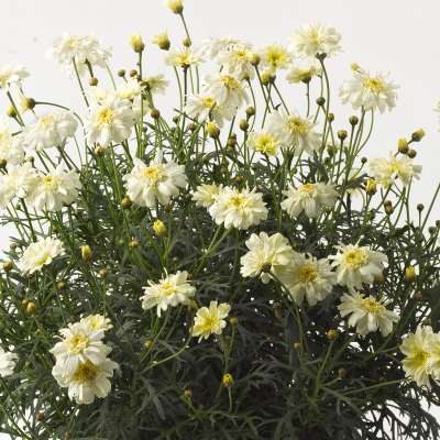 Argyranthemum Glory Double Lemon