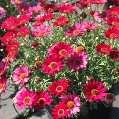 Argyranthemum Grandaisy Deep Red