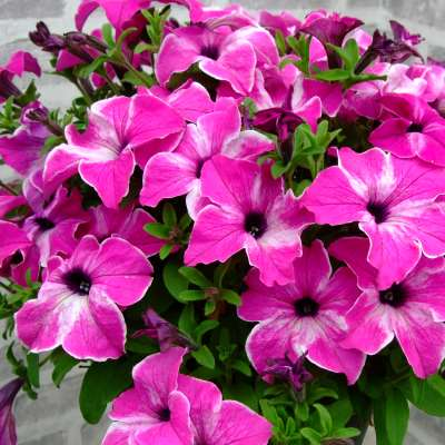 Petunia Happy Giant Pink Mix