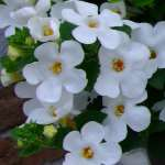 Bacopa Secrets XXL White Improved