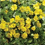 Bacopa Mecardonia Early Yellow