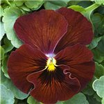 Balconita Pansy Deep Red