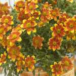 Bidens Beedance Painted Yellow