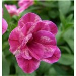 Calibrachoa Caloha Double Marble Rose