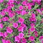 Calibrachoa Caloha Double Rose