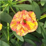 Calibrachoa Caloha Double Terracotta