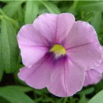 Calibrachoa Caloha Grand Mauve
