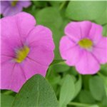 Calibrachoa Caloha Grand Pink
