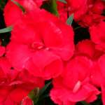 Dianthus Devine Bright Red
