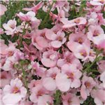 Diascia Maritana Little Maiden