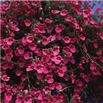 Diascia Red Ace