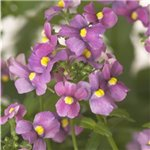 Nemesia Honey Pink
