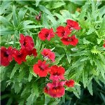 Nemesia Spicy Real Red Improved