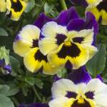 Balconita Pansy Jolly Faces