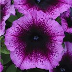 Petunia Designer Royal Heart