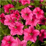 Petunia Happy Classic Hot Pink