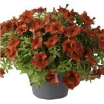 Petunia Happy Giant Red