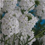 Verbena Tapien White Dream