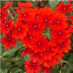 Verbena Tiara Red